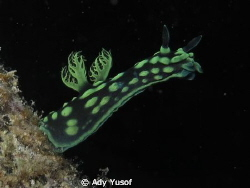 Nembrotha Cristata, by Ady Yusof 